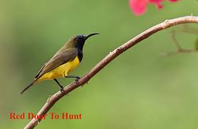 RED Door To Hunt: Cadangan Sub-Spesies Baharu Jerijit Suria Belakang-Hijau  zaitun~Nectarina jugularis aur